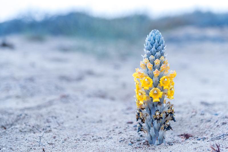 Desert Hyacinth